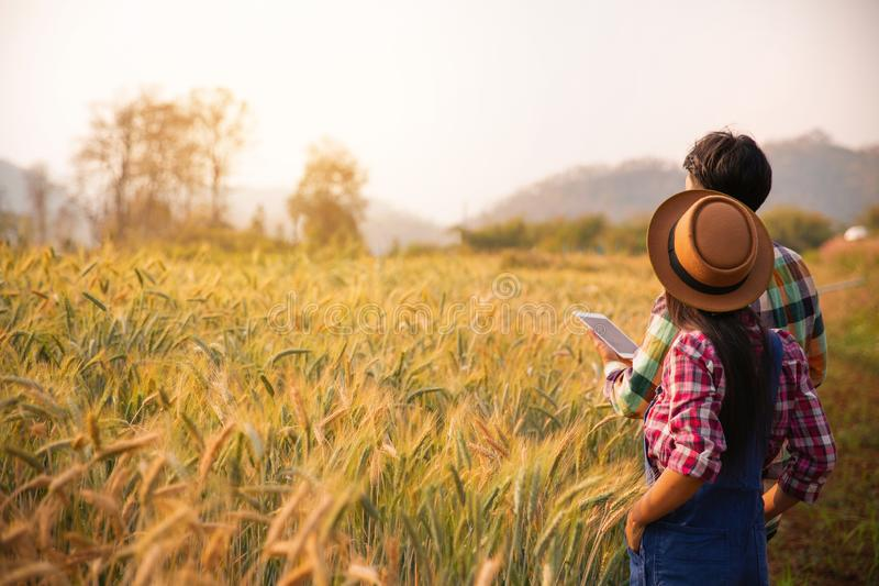 agricoltori in un giacimento dell'oro con una compressa digitale fotografia stock