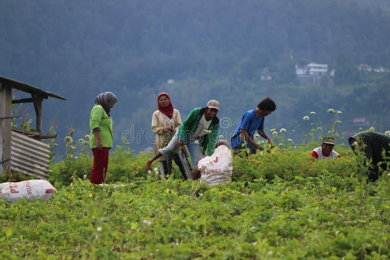 Agricoltura biologica indonesiana immagini stock libere da diritti