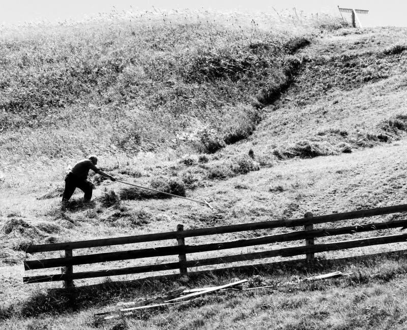 Agricoltura collinare e riunire del fieno nelle alpi in Svizzera fotografia stock libera da diritti