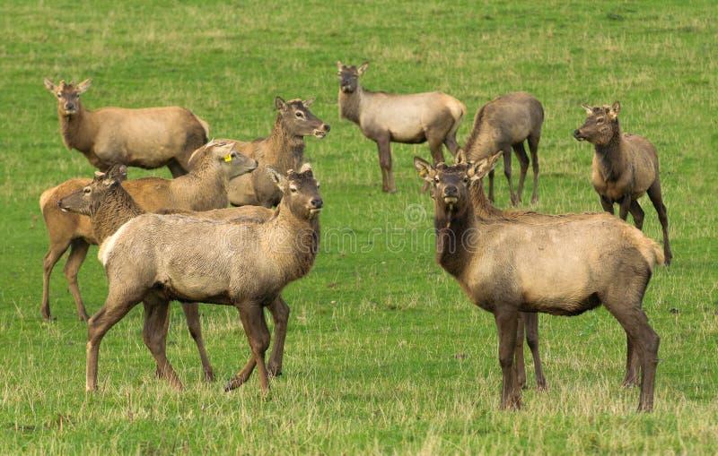 Download Agricoltura Dei Cervi Nobili Fotografia Stock - Immagine di antlers, podere: 30826036