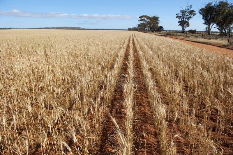 Agricoltura del campo di frumento fotografia stock