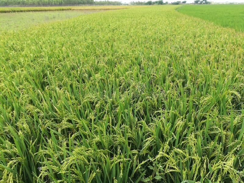 Agricoltura della risaia fotografia stock libera da diritti