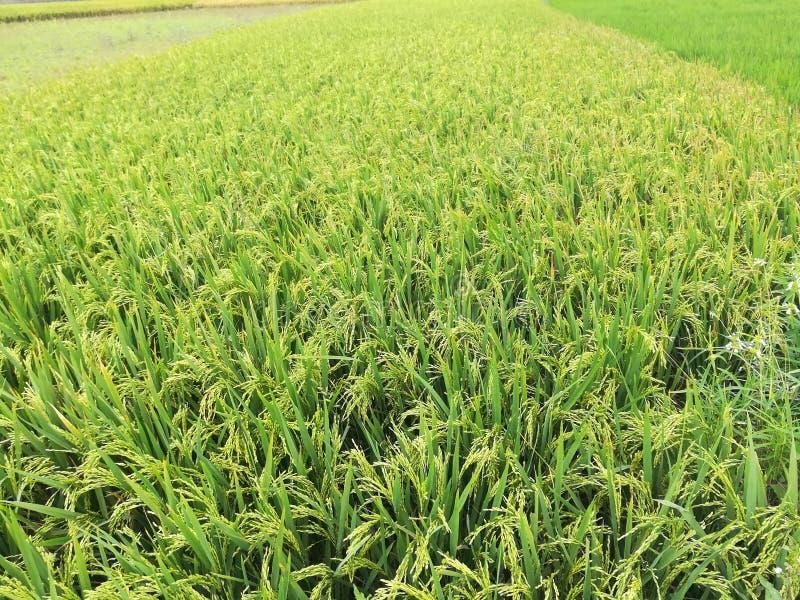 Agricoltura della risaia In terra fotografie stock libere da diritti