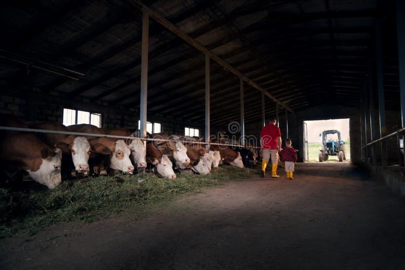 Agricoltura, la gente ed il concetto di bestiame - un uomo o un agricoltore con suo figlio che cammina lungo la stalla e le mucch fotografia stock libera da diritti