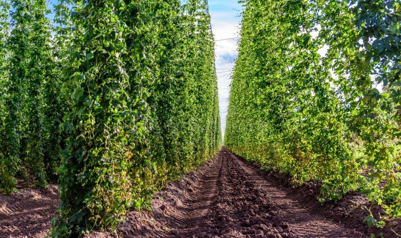 Agricoltura - luppolo immagine stock