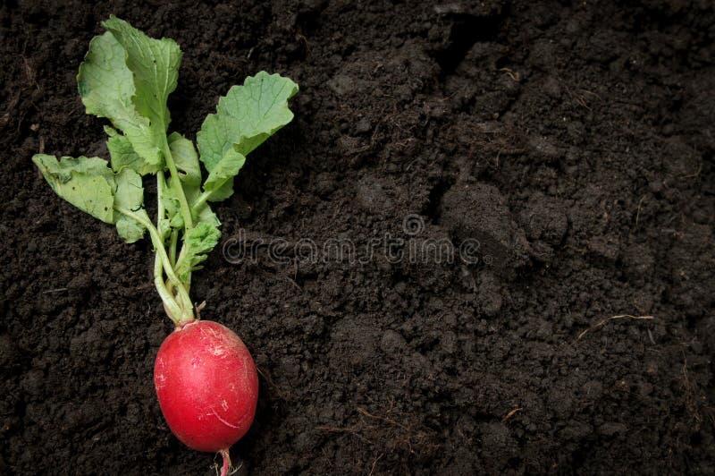 Agricoltura organica del ravanello immagini stock libere da diritti