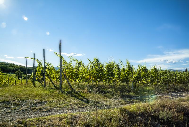 Agricoltura per uve e vino immagine stock libera da diritti