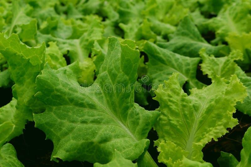 Agricoltura verde della lattuga Chiuda sulla vista Fondo di verdure della foglia immagini stock