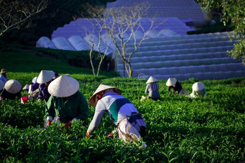 Agriculteur avec conique dans le thé havest du Vietnam images libres de droits