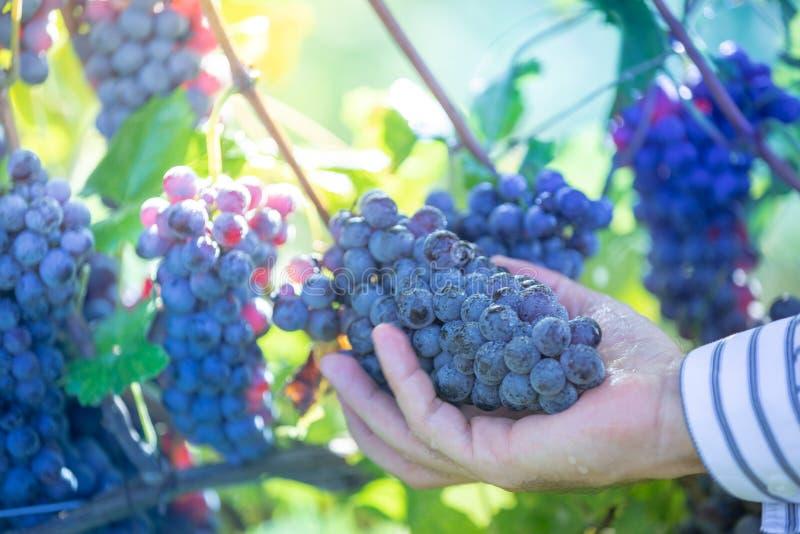 Agriculteur avec des ses raisins rouges images stock