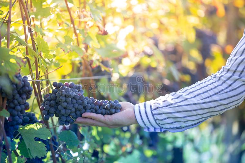 Agriculteur avec des ses raisins rouges pendant la culture d'automne photos stock