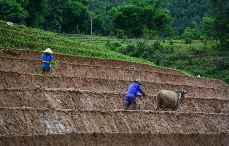 Agriculteur avec le buffle sur le gisement de riz photos libres de droits