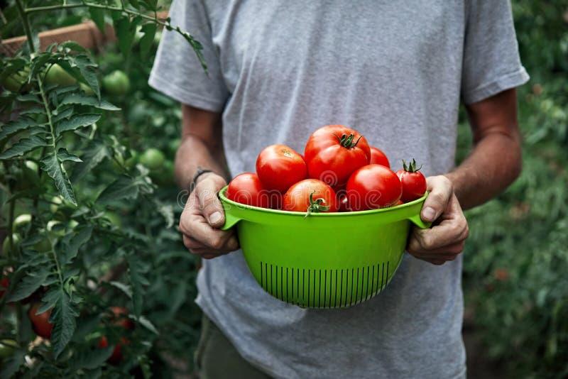 Agriculteur avec les tomates fraîches photographie stock libre de droits
