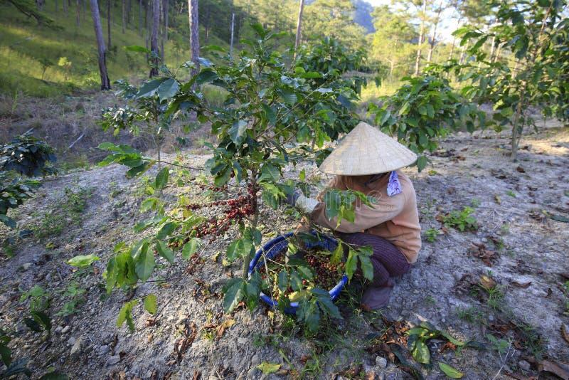 Agriculteur avec un panier moissonnant le café rouge été à la plantation de café photos libres de droits
