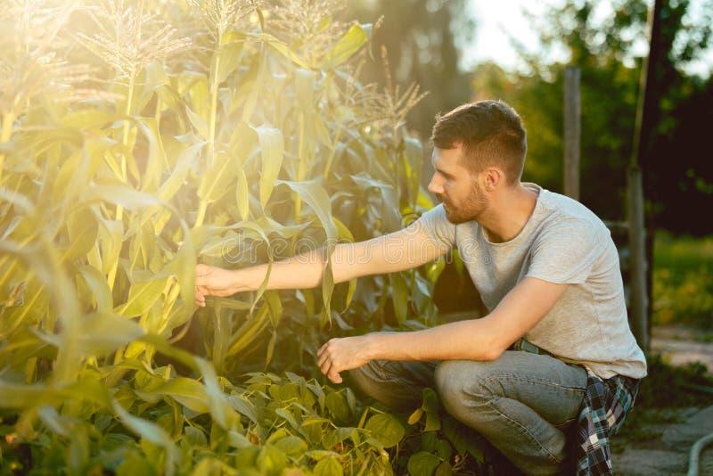 Agriculteur bel en ses années '30 sélectionnant le maïs sur un champ photo stock