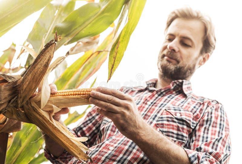 Agriculteur caucasien dans le domaine de maïs de contrôle de chemise de plaid photo stock