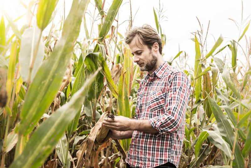 Agriculteur caucasien dans le domaine de maïs de contrôle de chemise de plaid photo libre de droits