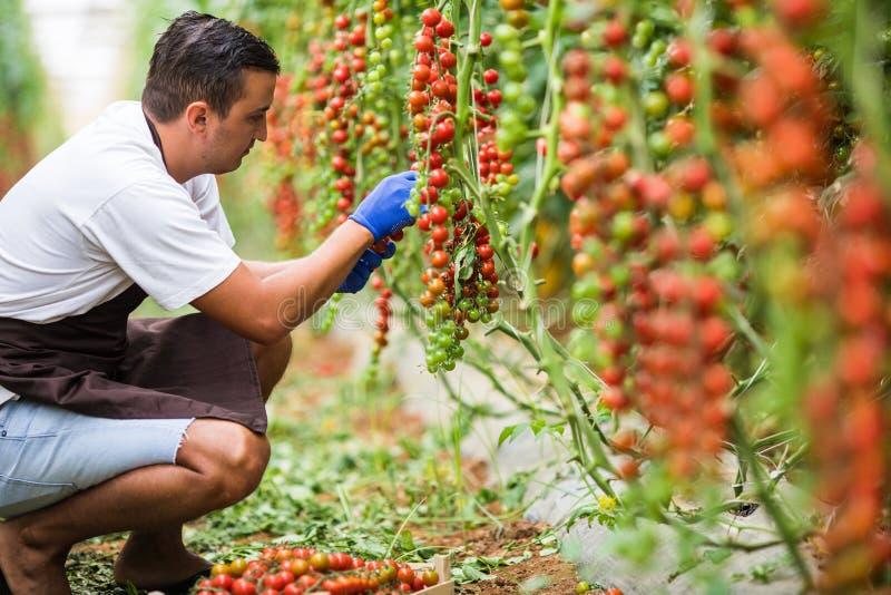 Agriculteur caucasien sélectionnant les tomates-cerises fraîches dans des boîtes en bois de son jardin cultivé en serre images libres de droits