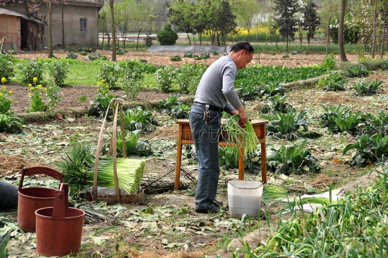Pengzhou, Chine : Agriculteur empaquetant l'ail photographie stock