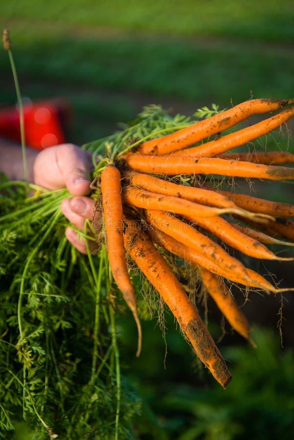 Agriculteur Cultivating Carrots photos libres de droits