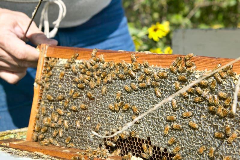 Agriculteur d'abeille tenant le panneau du nid d'abeilles avec des abeilles photographie stock libre de droits