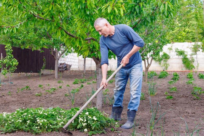 Agriculteur d'homme s'inquiétant de planter des fraises avec des outils dehors images stock