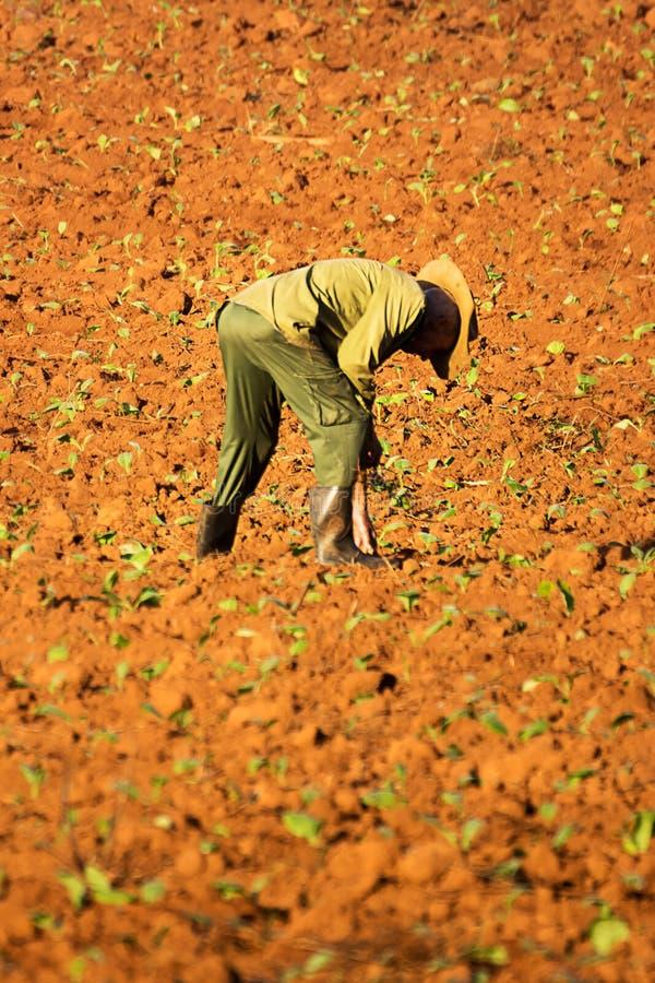 Agriculteur dans le domaine avec des jeunes plantes de tabac photographie stock libre de droits