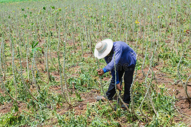 Agriculteur dans le domaine de ferme de manioc photographie stock