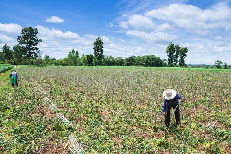 Agriculteur dans le domaine de ferme de manioc images stock