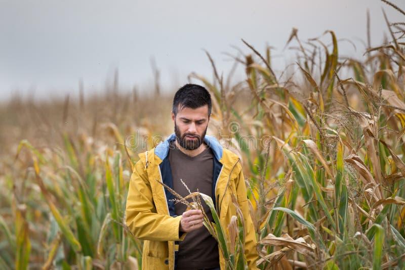 Agriculteur dans le domaine de maïs image stock