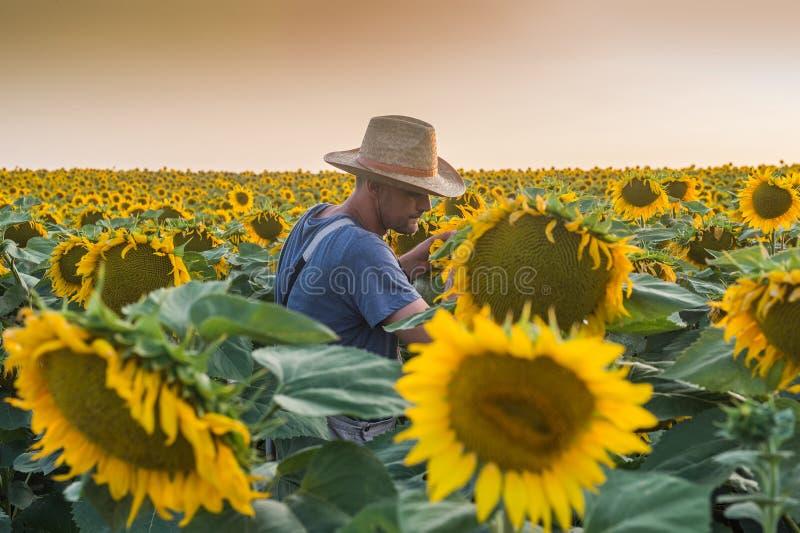 Agriculteur en tournesols photo stock