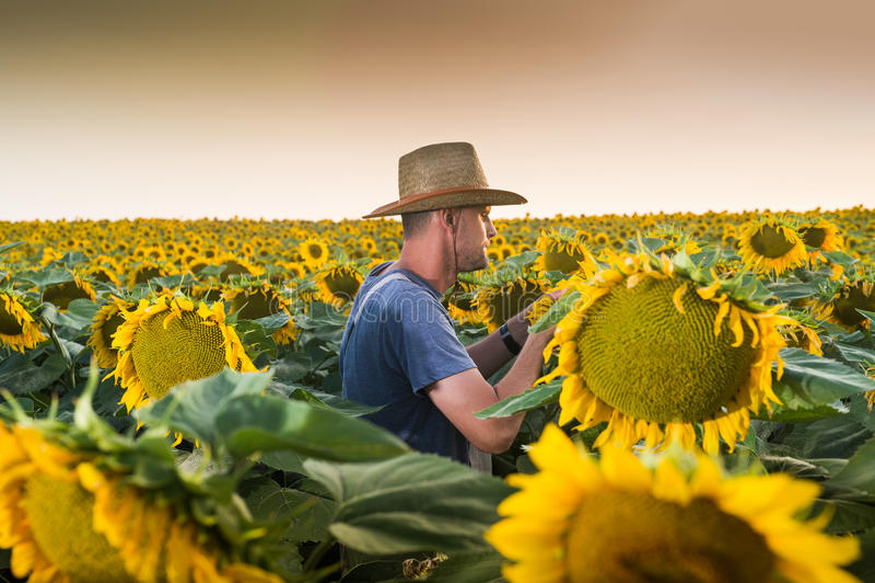 Agriculteur en tournesols photos libres de droits