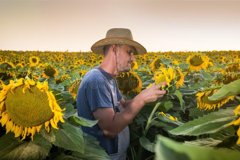 Agriculteur en tournesols photo libre de droits