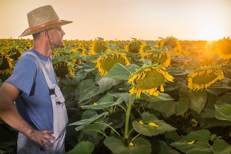 Agriculteur en tournesols image libre de droits