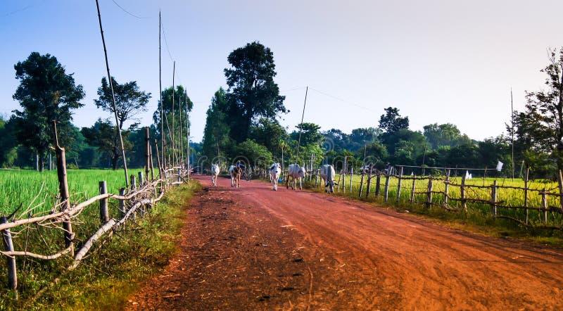 Agriculteur et son temps à la maison rentrant de vache image stock
