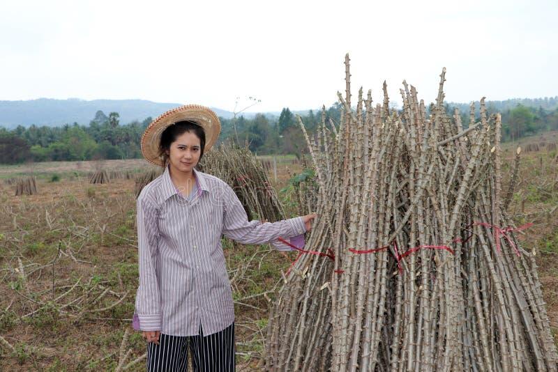 Agriculteur féminin s'asseyant avec le membre de tapioca qui a coupé la pile ensemble dans la ferme photo libre de droits