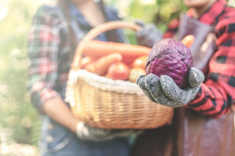 Agriculteur jugeant le chou frais avec brouillé de retour des femmes tenant un panier des légumes photos libres de droits