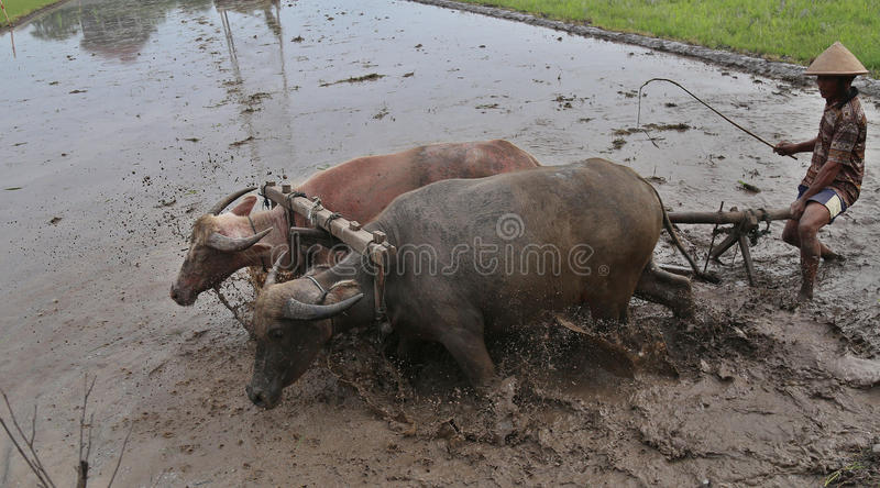 Agriculteur labourant un champ utilisant les outils traditionnels image libre de droits