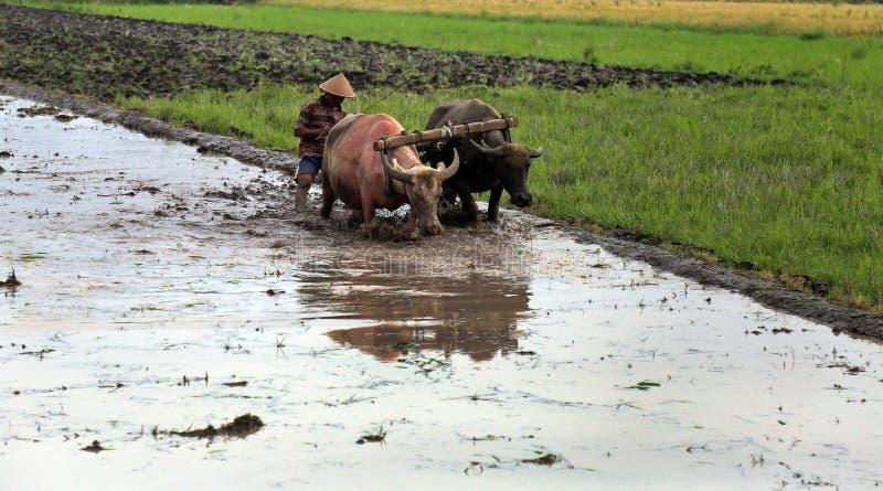 Agriculteur labourant un champ utilisant les outils traditionnels images libres de droits