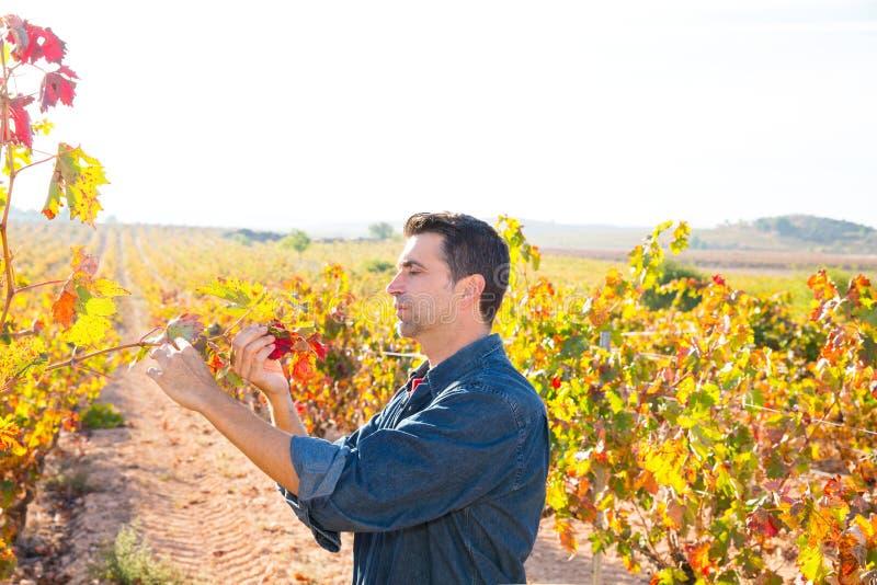 Agriculteur méditerranéen de vignoble vérifiant des feuilles de raisin photos stock