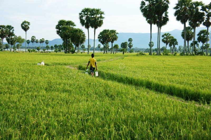 Agriculteur marchant sur le gisement vert de riz images stock