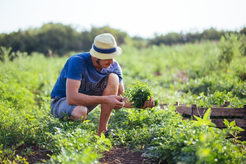 Agriculteur moissonnant la culture fraîche du persil sur le champ à la ferme organique d'eco photos stock