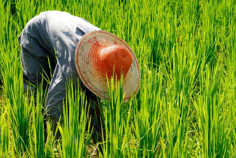 Download Agriculteur Moissonnant Le Riz Photo stock - Image du asie, normal: 45370210