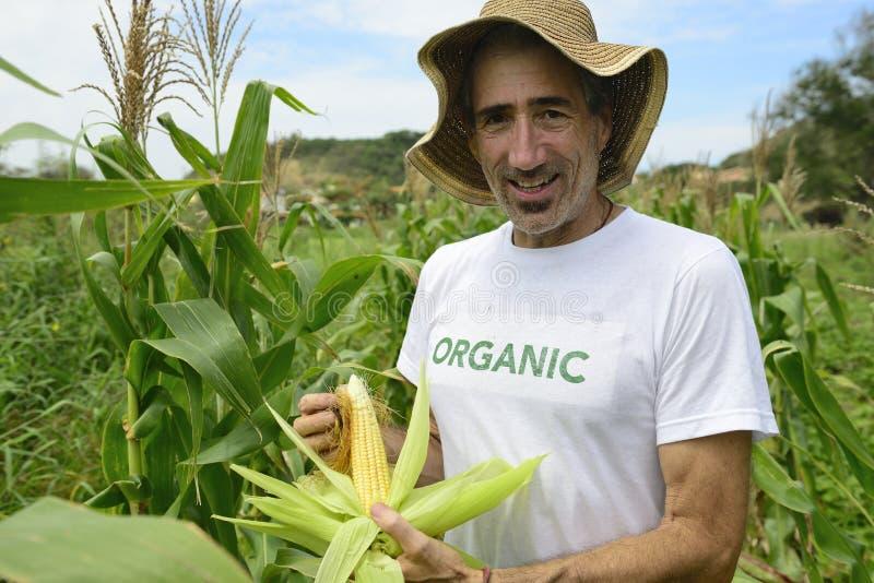 Agriculteur organique montrant le maïs à l'intérieur de la plantation photo stock