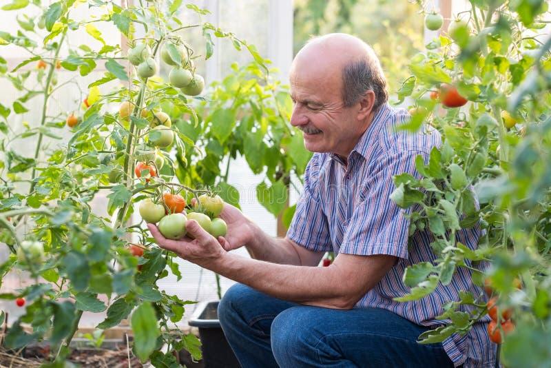 Agriculteur ou jardinier mûr en serre chaude vérifiant sa qualité de tomate photos stock