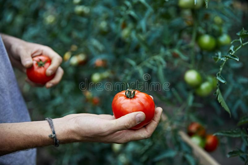 Agriculteur Picking Tomatoes images stock