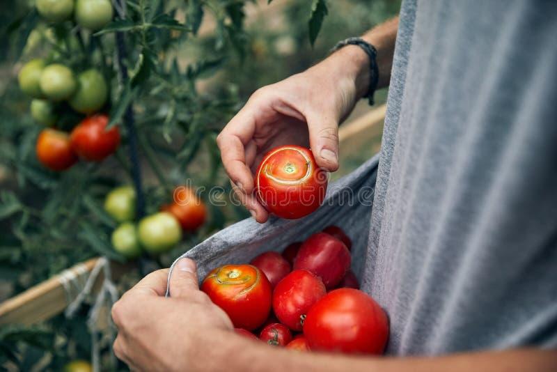 Agriculteur Picking Tomatoes image libre de droits