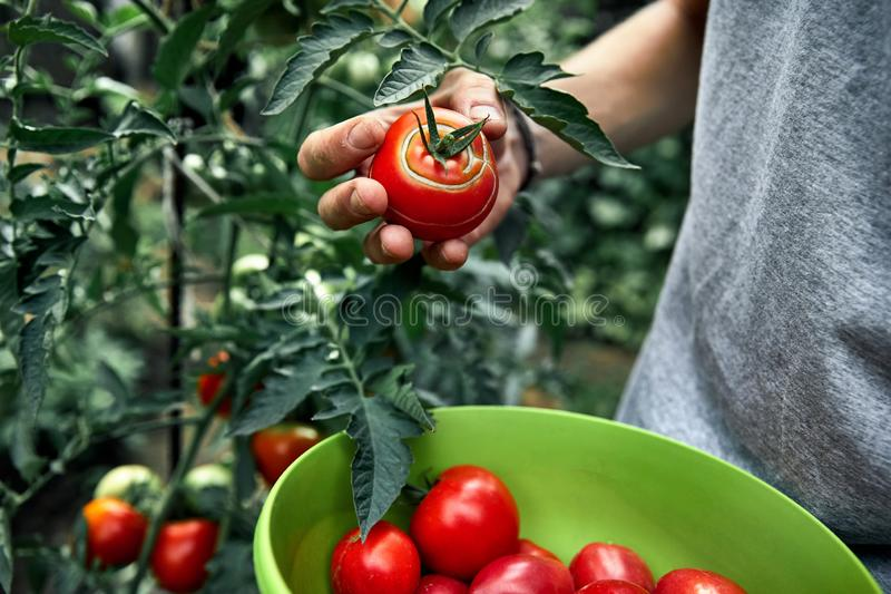 Agriculteur Picking Tomatoes photo stock
