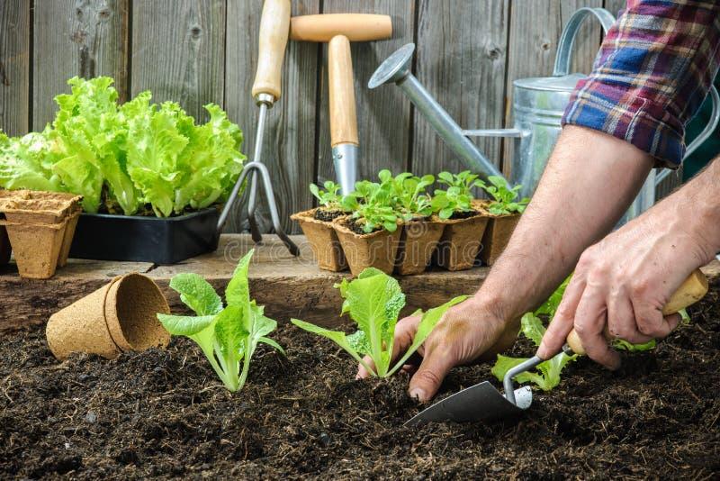 Agriculteur plantant de jeunes jeunes plantes photo libre de droits