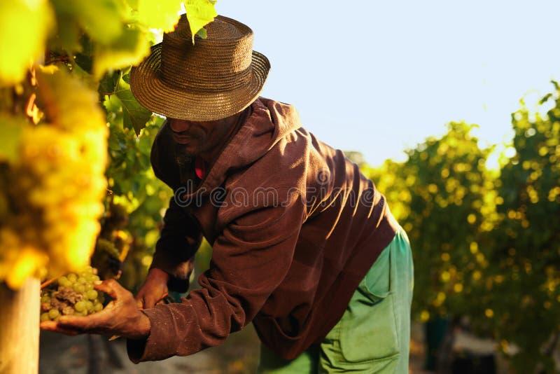 Agriculteur prenant les raisins dans le vignoble images stock